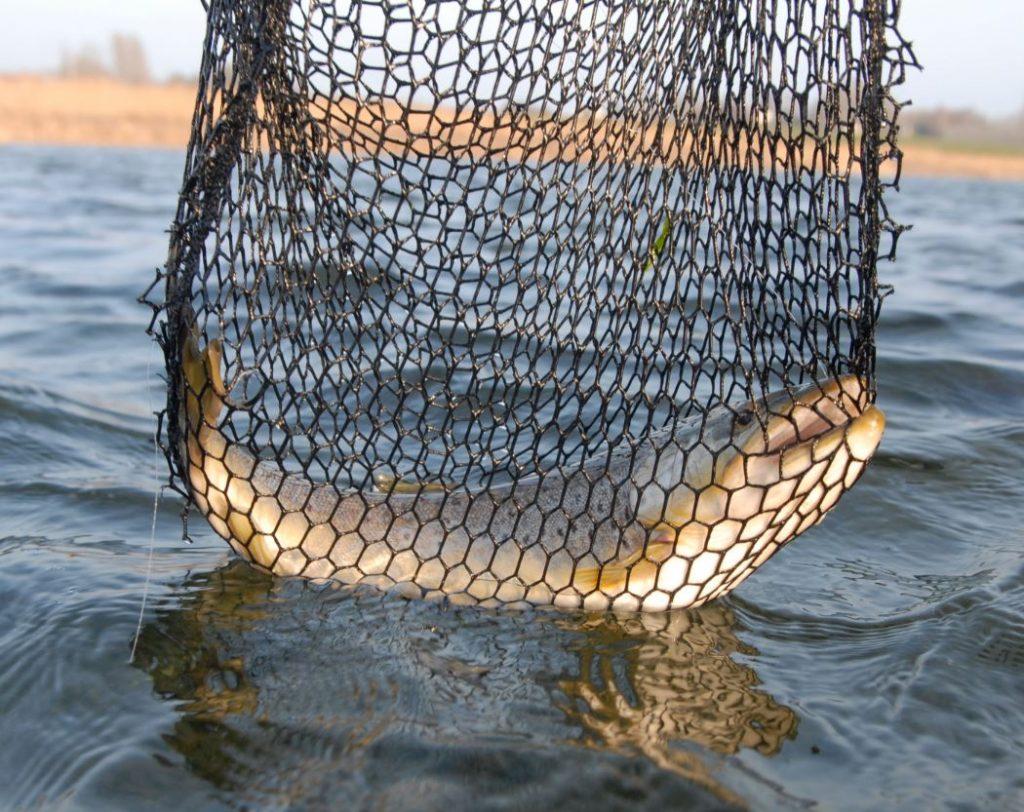 havørred fyn, havørred sea trout meerforelle fünen sjøørret DTU forskning fyn