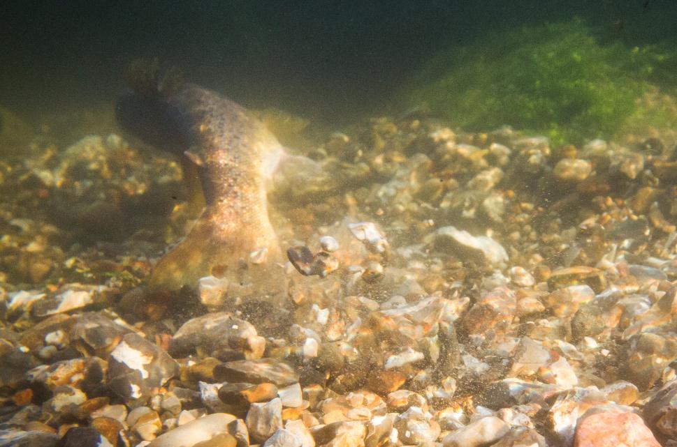 havørred fyn ærø langeland sea trout fyn vandløb restaurering gydning spawning redds
