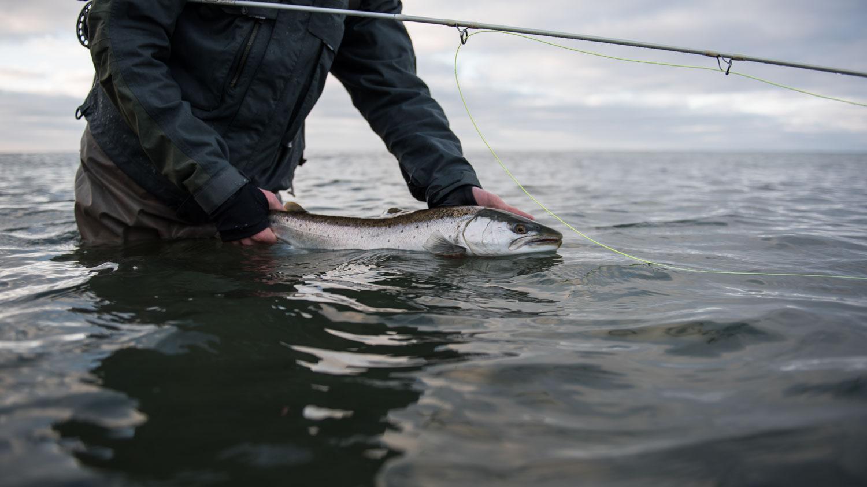 havørred fyn genudsætning bæredygtigt fiskeri